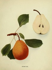 Figured is an oval pear, tapered towards the stalk, skin orange and russety + a sectioned pear. Pears of New York p.134, 1921.