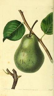 The figure hows a green, speckled pear of oblong shape, tapering to the stalk. Pomological Magazine t.88, 1829.