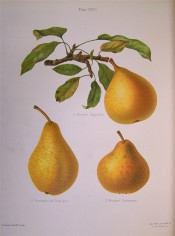 The figure shows 3 varieties of pear, all yellow-skinned and covered with cinnamon russet. HP pl.22, 1878.