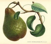 The figure shows a green pear, streaked and mottled with russet, with leaves. Album de Pomologie vol.2, pl.99, 1849.