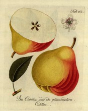 Figured is a large red and yellow pear, irregularly turbinate in shape with a narrow neck. Pomona Austriaca t.162, 1792.