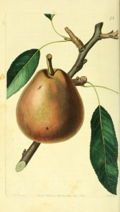 The pear figured is obovate, with reddish-green skin covered with thin russet. Pomological Magazine t.74, 1829.