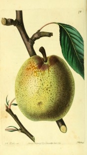 Figured is a round, slightly oblong green pear with russety dots and streaks. Pomological Magazine t.78, 1829.