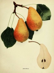 Figured are 2 pyriform pears with yellow skin, flushed red, and a pear sectioned. Pears of New York p.178, 1921.