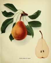 Figured is a pyramidal pear, with section, skin yellowish heavily speckled with russet. Pears of New York p.194, 1921.