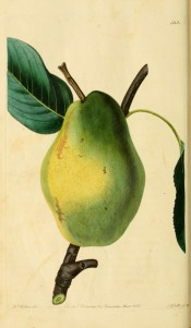 Figured is a large, angular pear, the skin green, turning yellow. Pomological Magazine t.122, 1830.