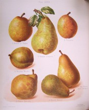 7 varieties of pear are figured, roundish or turbinate in shape, skin yellow or green marked with russet. HP pl.68, 1878.