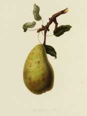 The pear figured is uneven in shape, long and pyramidal, the skin yellowish with russet spots. Pomona Londinensis pl.5, 1818.