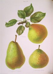 3 pears are figured, 2 are rounded in shape, skin green flushed red, the third is uneven, pyriform and green. HP pl.15, 1878.