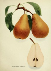 Figured are pyramidal pears, 1 sectioned. skin yellow with dots and streaks of russet. Pears of New York p.190, 1921.