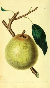 The pear figured is almost round, slightly oblong, the skin pale green with spots and streaks of cinnamon. PM t.60, 1829.