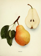 Figured is an irregular, pyramidal pear with yellow skin flushed red, + a sectioned pear. Pears of New York p.124, 1921.