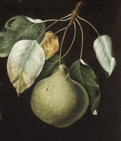 The pear figured is almost round with a very narrow neck, and green in colour. Pomona Britannica pl.80, 1812.
