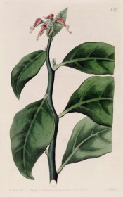 Figured are zig-zag stem, elliptic leaves and red and green flower-like bract cups.  Botanical Register f.837, 1824.
