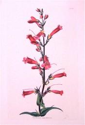 Illustrated are lance-shaped leaves and narrowly-tubular pinkish flowers.  Loddiges Botanical Cabinet no.1420, 1828.