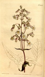 Figured are lance-shaped, toothed leaves and tubular, pale violet flowers.  Curtis's Botanical Magazine t.1425, 1811.
