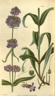 Figured are lance-shaped leaves and narrow spike of small, purplish-blue flowers.  Curtis's Botanical Magazine t.2954, 1829.