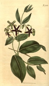 Figured are glossy ovate leaves and corymbs of green and purple star-like flowers.  Curtis's Botanical Magazine t.2289, 1822.