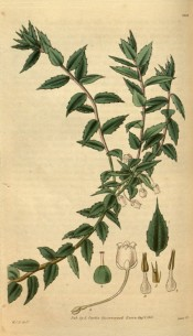 Illustrated are the ovate leaves and axillary, bell-shaped white flowers.  Curtis's Botanical Magazine t.3093, 1831.