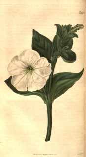 The image shows a shoot with broadly lance-shaped leaves and single white flower.  Curtis's Botanical Magazine t.2552, 1825.