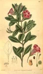 Depicted is an upright plant with ovate leaves and red-purple funnel-shaped flowers.  Curtis's Botanical Magazine t.3113, 1831.