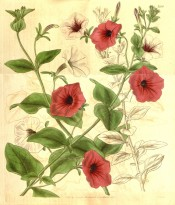 Shown are petunias with funnel-shaped flowers in deep pink, white and pink and white.  Curtis's Botanical Magazine t.3556, 1837.