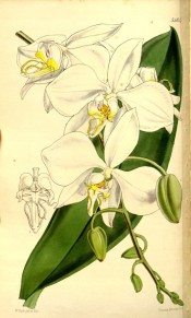 Figured is a leaf and pendant raceme of large white flowers with red-spotted throat.  Curtis's Botanical Magazine t.5184, 1860.