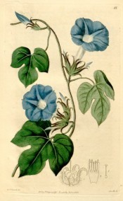 Illustrated are the 3-lobed leaves and sky blue funnel-shaped flowers.  Botanical Register f.85, 1816.