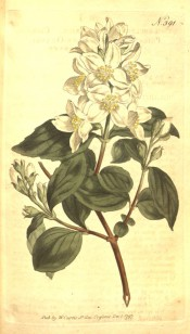 Figured are ovate leaves and raceme of shallowly-cup-shaped white flowers.  Curtis's Botanical Magazine t.391, 1797.