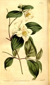 Figured are elliptic leaves and cymes of single white flowers.  Curtis's Botanical Magazine t.1478, 1812.