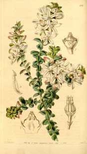 Figured are small, roundish leaves and solitary, pinkish, axillary flowers.  Curtis's Botanical Magazine t.4101, 1844.