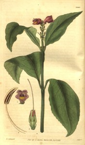Shown are elliptic leaves and a terminal spike of purplish-red, funnel-shaped flowers. Curtis's Botanical Magazine t.1340, 1830.