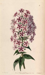 Shown is a flowering shoot with terminal panicle of starry purplish-pink flowers with white edge.  Botanical Register f.5, 1843.