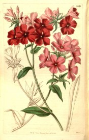 Illustrated are 5-petalled single flowers in shades of red and pink.  Curtis's Botanical Magazine t.3441, 1835.