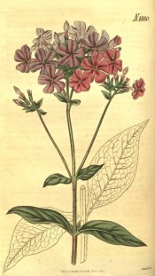 Illustrated are the lance-shaped leaves and panicles of salverform pink flowers.  Curtis's Botanical Magazine t.1880, 1817.