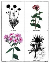 Four plants are depicted, Phlox wheeleriana, with pink flowers is bottom left.  Maund vol.5, no.395, 1834.