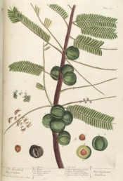 Figured are pinnate leaves, tiny greenish flowers and green fruits.  Blackwell pl.400, 1739.