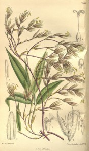Figured is a bamboo with detail of leaves and flowers.  Curtis's Botanical Magazine t.7994, 1905.