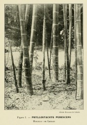 The photograph shows a tall, thick-caned bamboo in situ.  Les Bambus?es Fig.1, 1913.