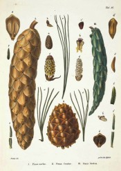Leaves, cones and seeds of Pinus excelsa are figured.  Die Coniferen t.XX, 1840-41.