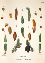 Leaves, cones and seeds of Pinus alba are illustrated.  Die Coniferen t.XXXIII, 1840-42.