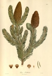 Figured are radially arranged leaves and brown female leaves.  Wallich pl.246, 1832.