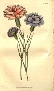 Unusual picotees, purple edged on a pink ground and purple edged on a blue ground.  Curtis's Botanical Magazine t.2744, 1827.