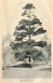 A photograph of Pinus canariensis growing in the Sydney Botanic Garden.  Agricultural Gazette of NSW, June 2nd, p.3, 1908.