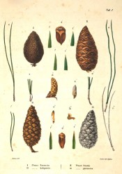 Leaves, cones and seeds of Pinus halepensis are figured.  Die Coniferen t.I, 1840-41.