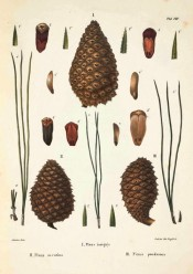 Illustrated are leaves, female cone and seeds.  Die Coniferen t.VIII, figure 1, 1840-41.