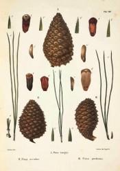Leaves, female cone and seeds of Pinus ponderosa are figured.  Die Coniferen t.VIII, figure 1, 1840-41.