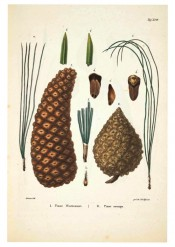 Leaves, female cones and seeds are figured.  Die Coniferen t.XVI, 1840-41.