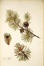 Figured are shoots with leaves and mature and immature cones.  Jacq. IPR pl.193, 1781-93.