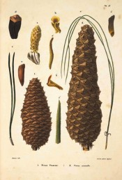Leaves, female cones and seeds are figured.  Die Coniferen t.VI, 1840-41.